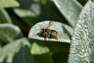 European wool-carder bee