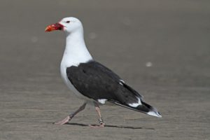 Gull 2E2 is frequently sighted by birders from Main to Plum Island.