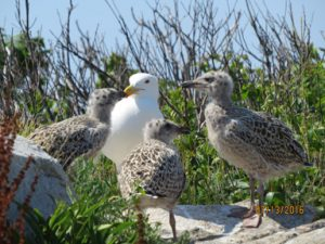 Great Black-backed Gulls, one of the study species at Shoals Marine Lab on Appledore Island. The present gull study began in 2004 and builds upon prior studies conducted on Appledore.